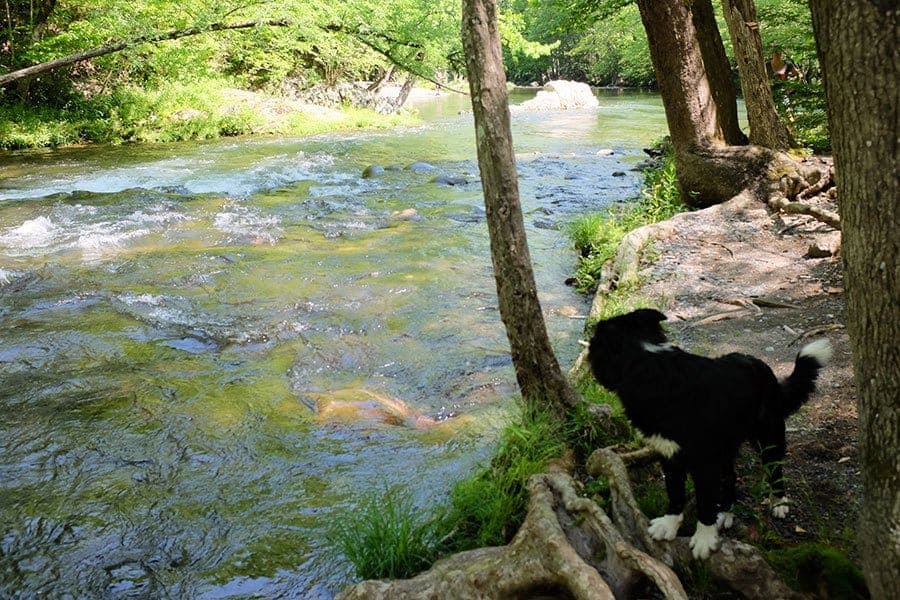 A dog by the river at Greenbrier Campground.